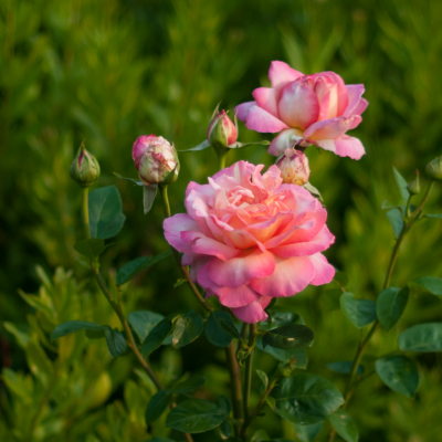 Pink-Roses-1-1-Crop